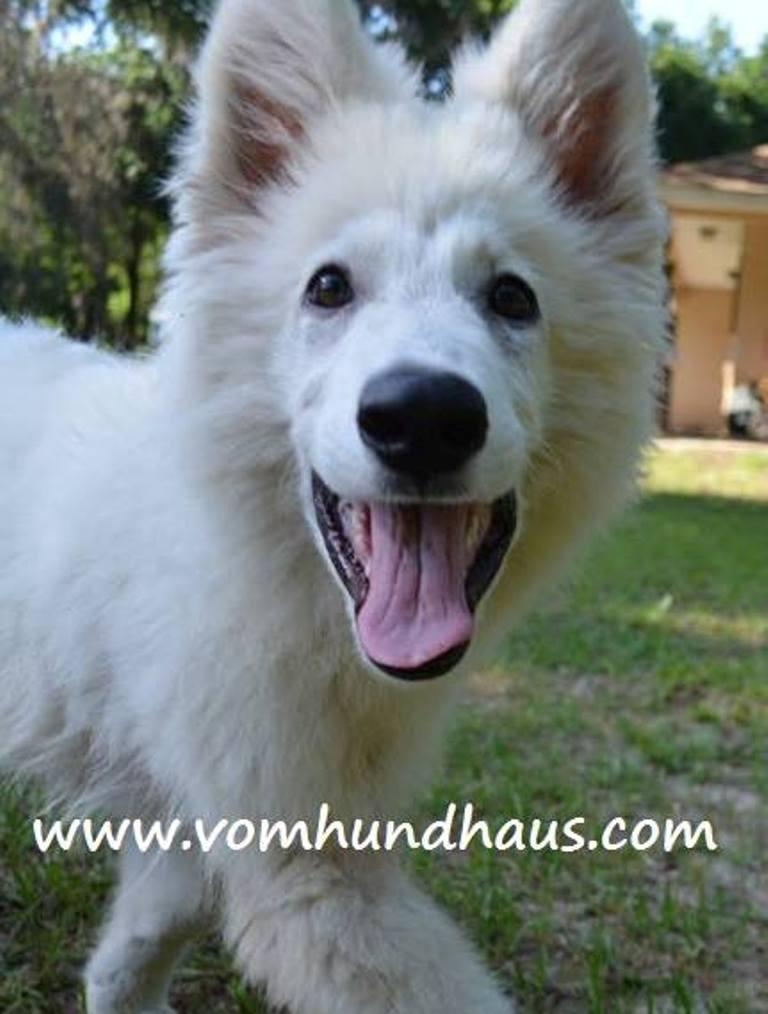 Tampa FL German Shepherd Breeder with Puppies For Sale | Vom
